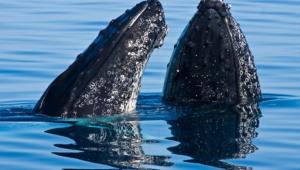 Blue Whale Full Hd
