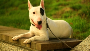 Bull Terrier Hd Desktop