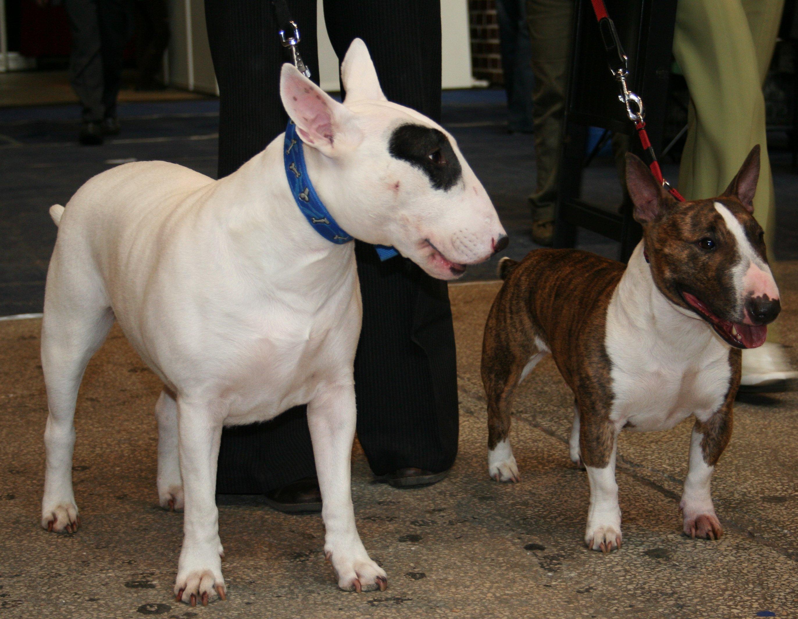 Bull Terrier Images