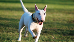 Bull Terrier Wallpapers Hd