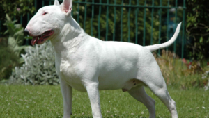 Bull Terrier For Desktop