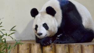 Panda Computer Backgrounds