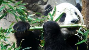 Panda Hd Background