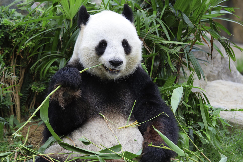 Panda Hd Desktop