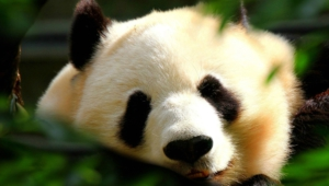 Panda Hd Wallpaper