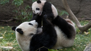Panda High Definition
