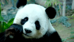 Panda High Definition Wallpapers
