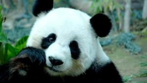 Panda High Definition Wallpapers