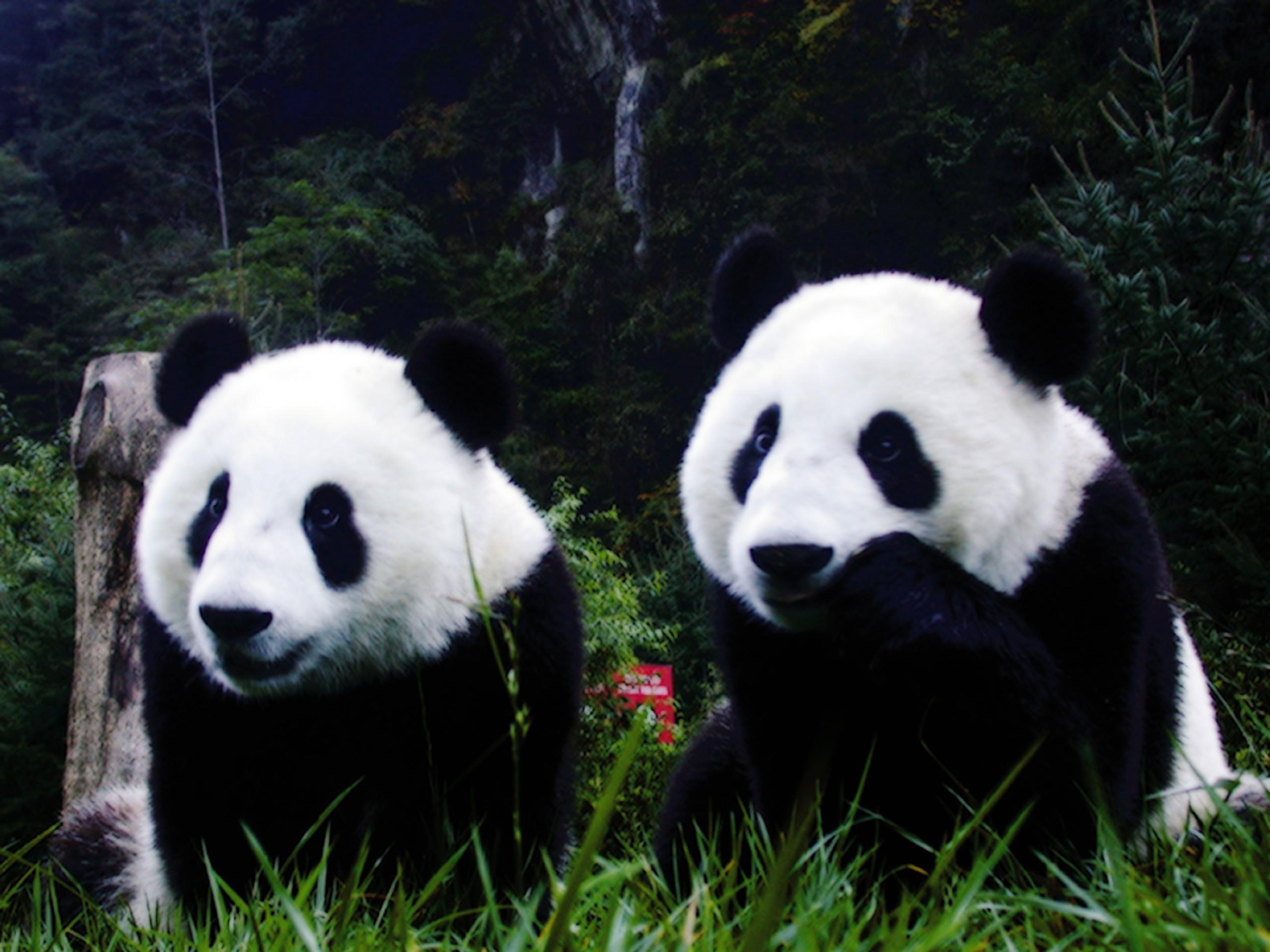 Panda Images