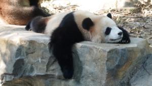 Panda Wallpapers Hq