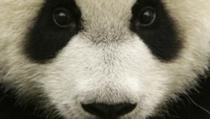 Panda For Desktop