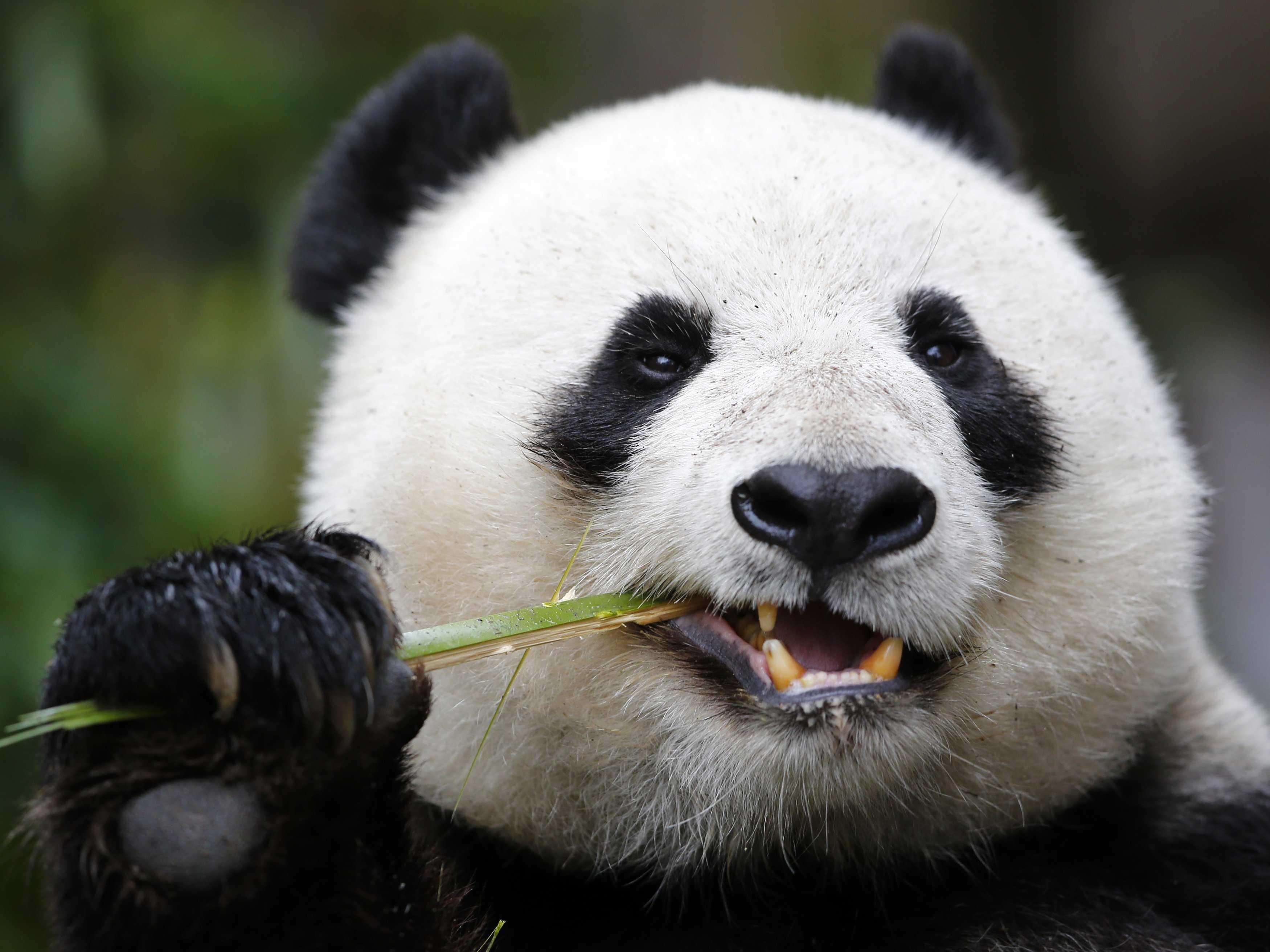 Panda Full Hd