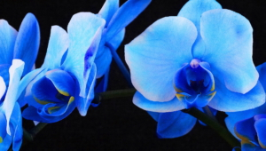 Pictures Of Blue Orchid