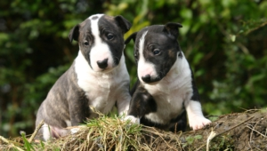 Pictures Of Bull Terrier