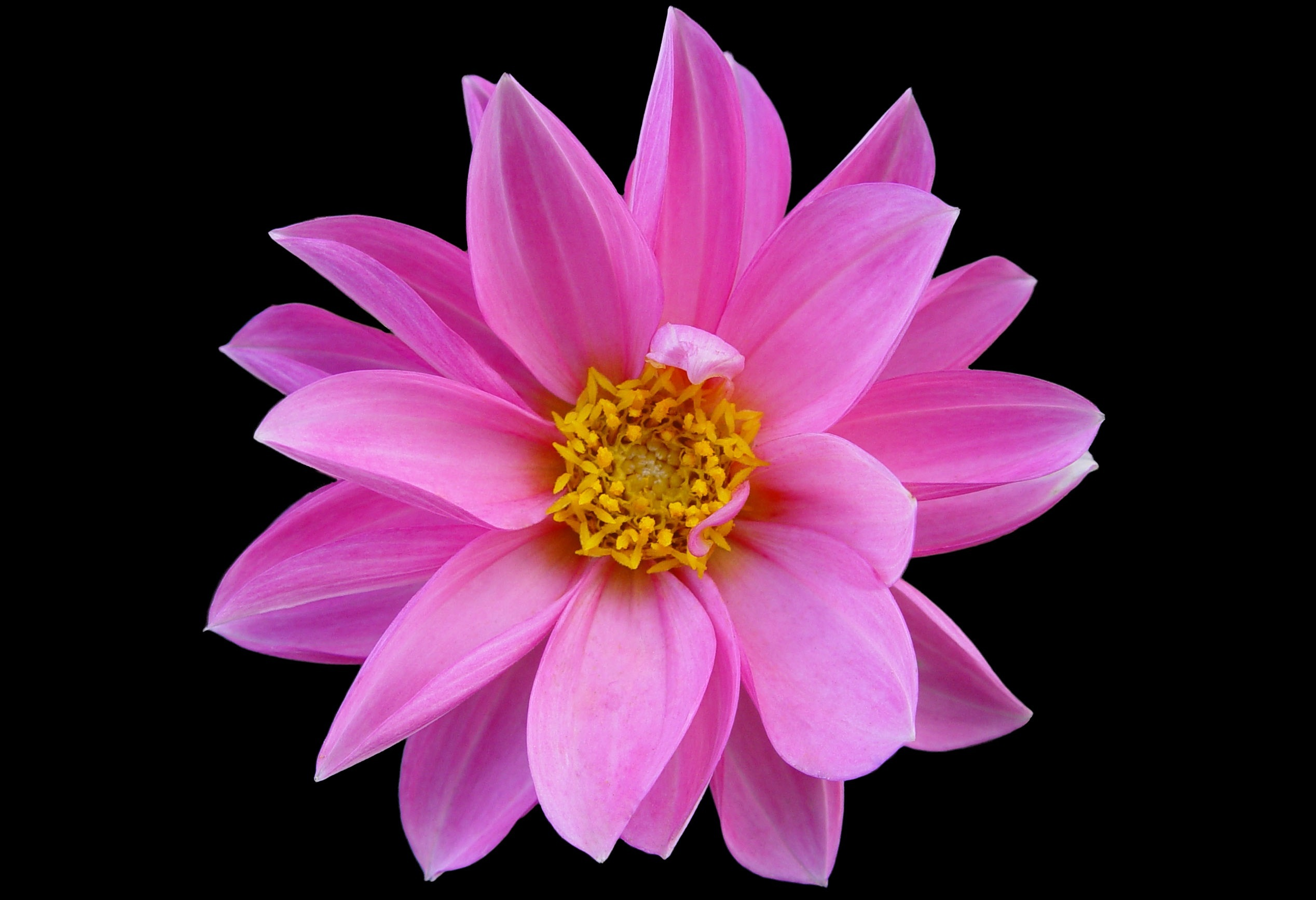 Pictures Of Pink Flower