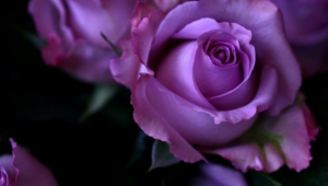 Pictures Of Purple Rose