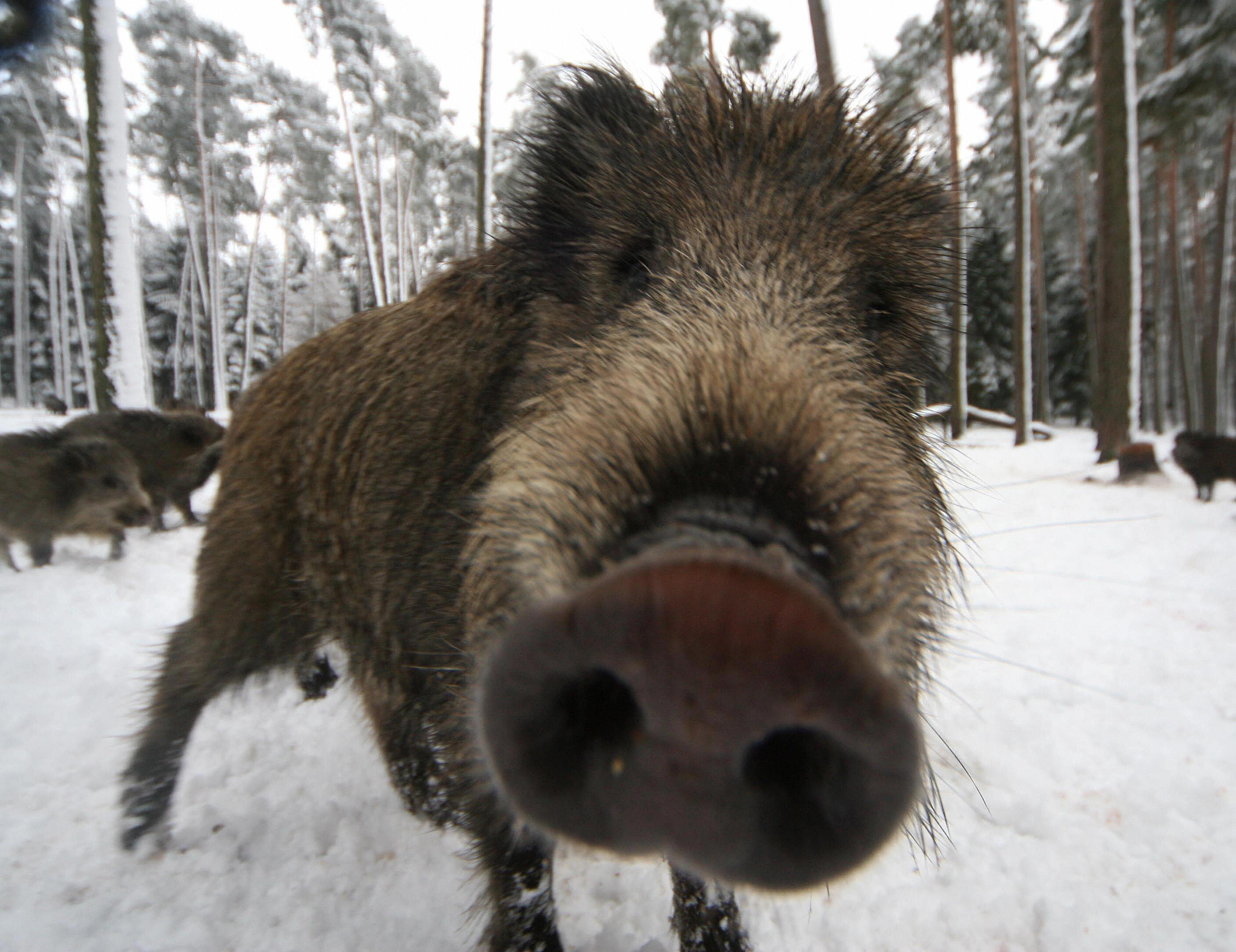 Pictures Of Wild Boar
