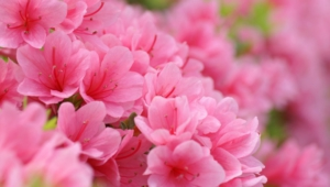Pink Flower Desktop