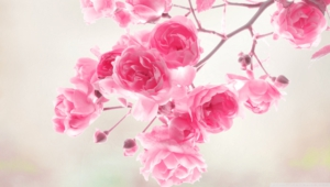 Pink Flower Hd Desktop
