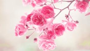 Pink Flower Hd Desktop