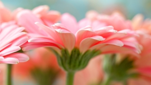 Pink Flower High Quality Wallpapers
