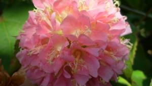 Pink Flower For Desktop