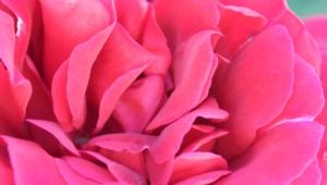 Pink Hd