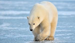 Polar Bear 4k