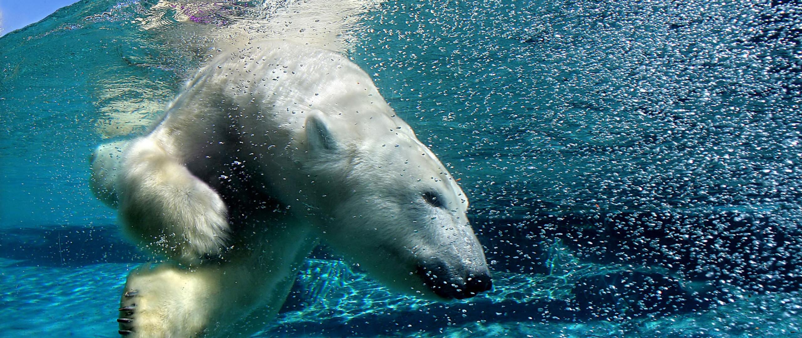 Polar Bear Desktop