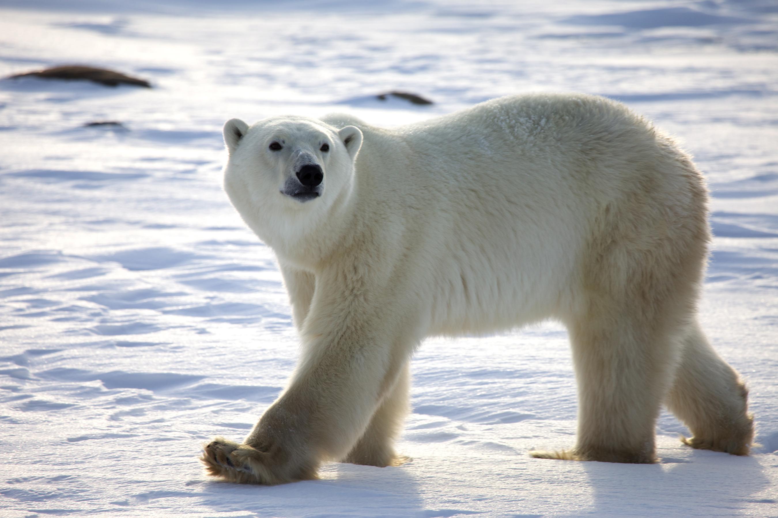 Polar Bear Hd Background
