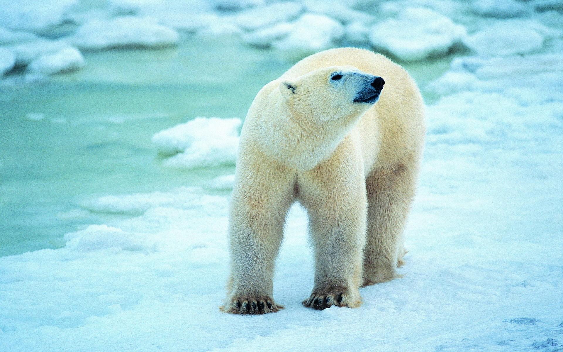 Polar Bear Hd Desktop