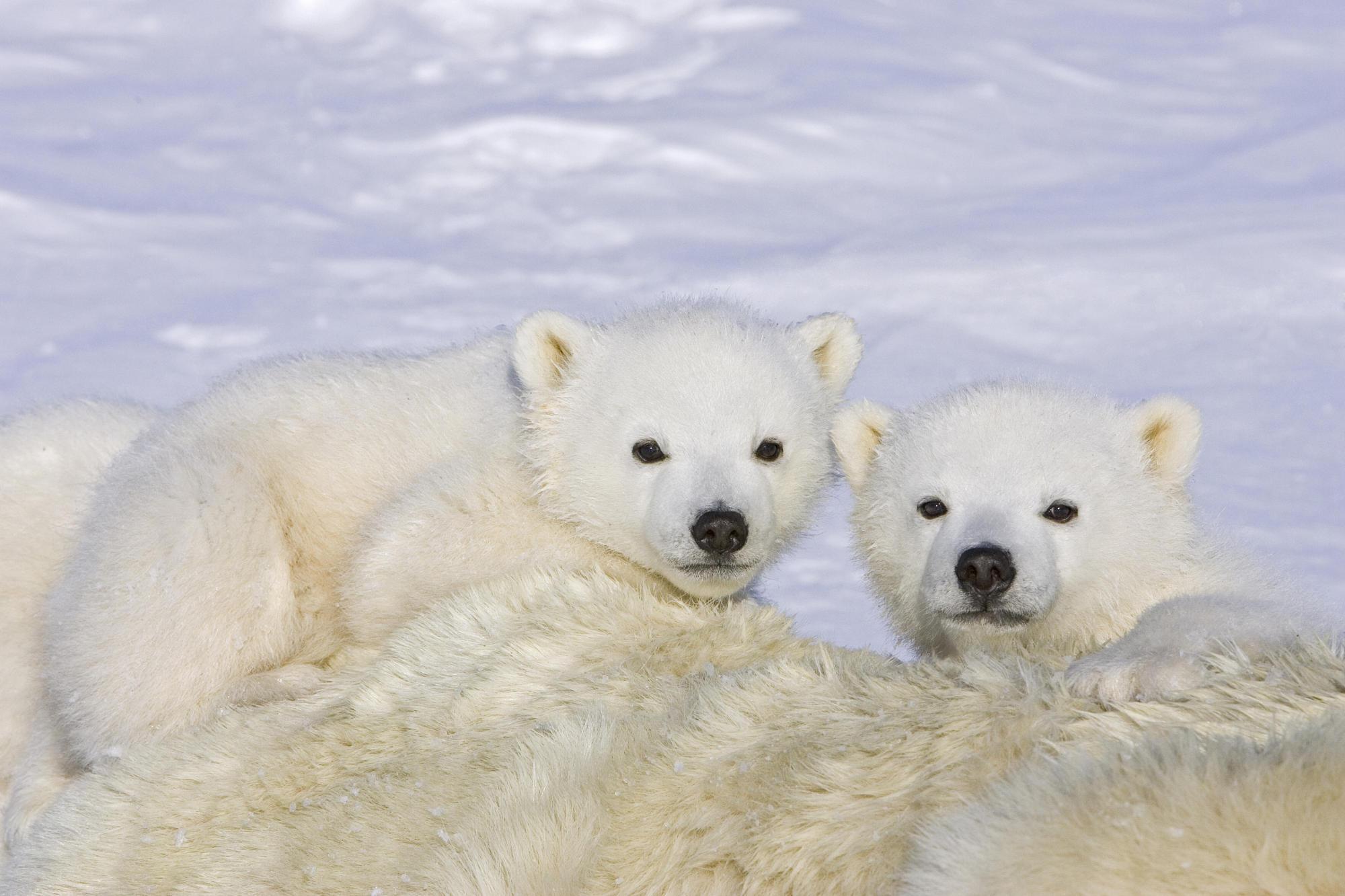 Polar Bear Hd