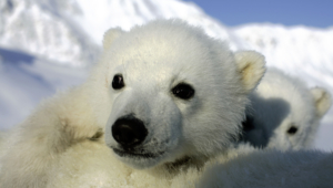 Polar Bear High Quality Wallpapers