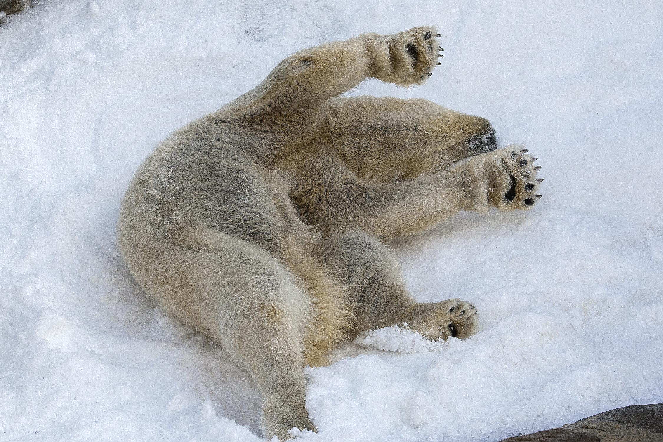 Polar Bear Wallpaper For Laptop