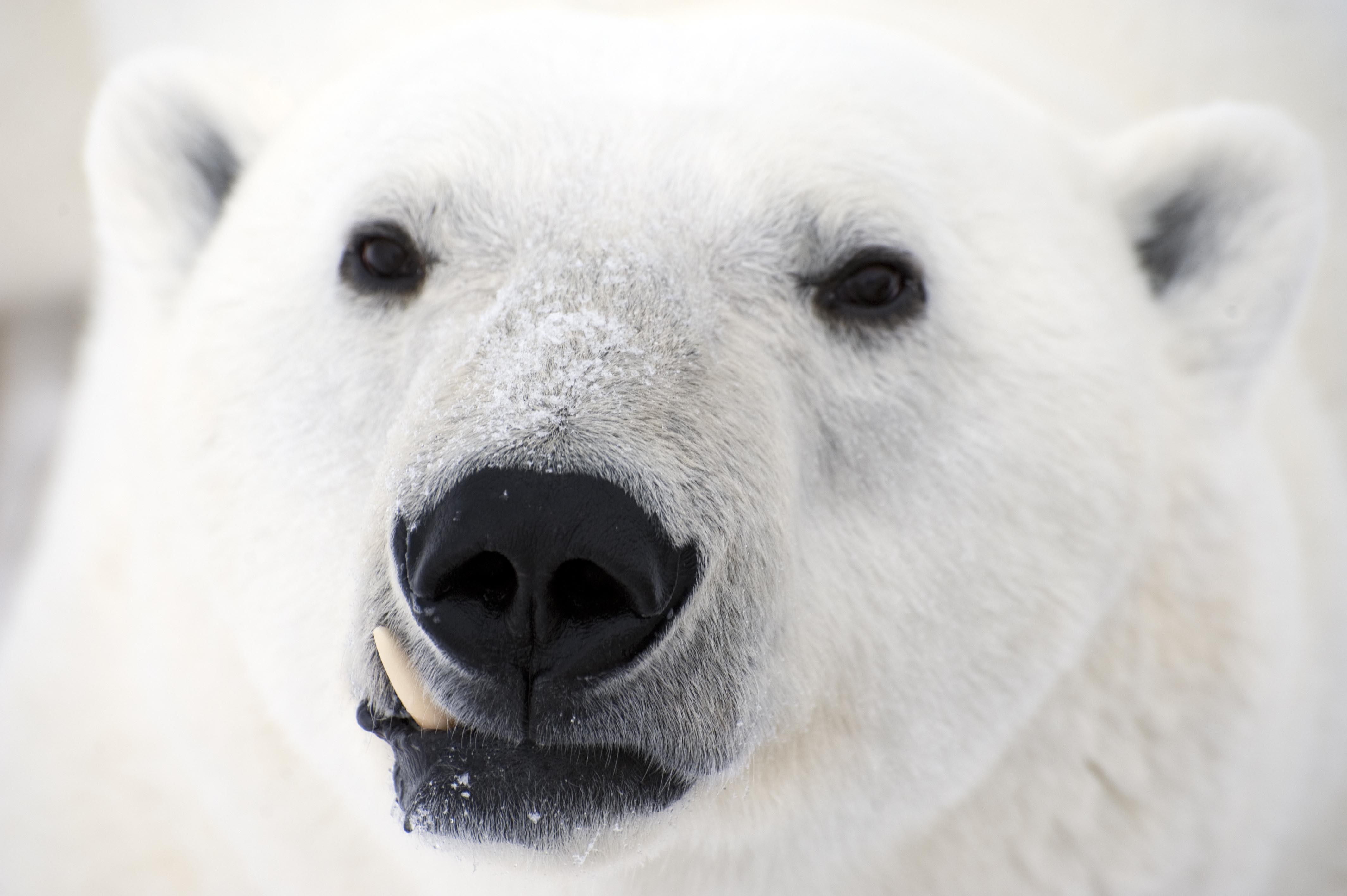 Polar Bear Widescreen