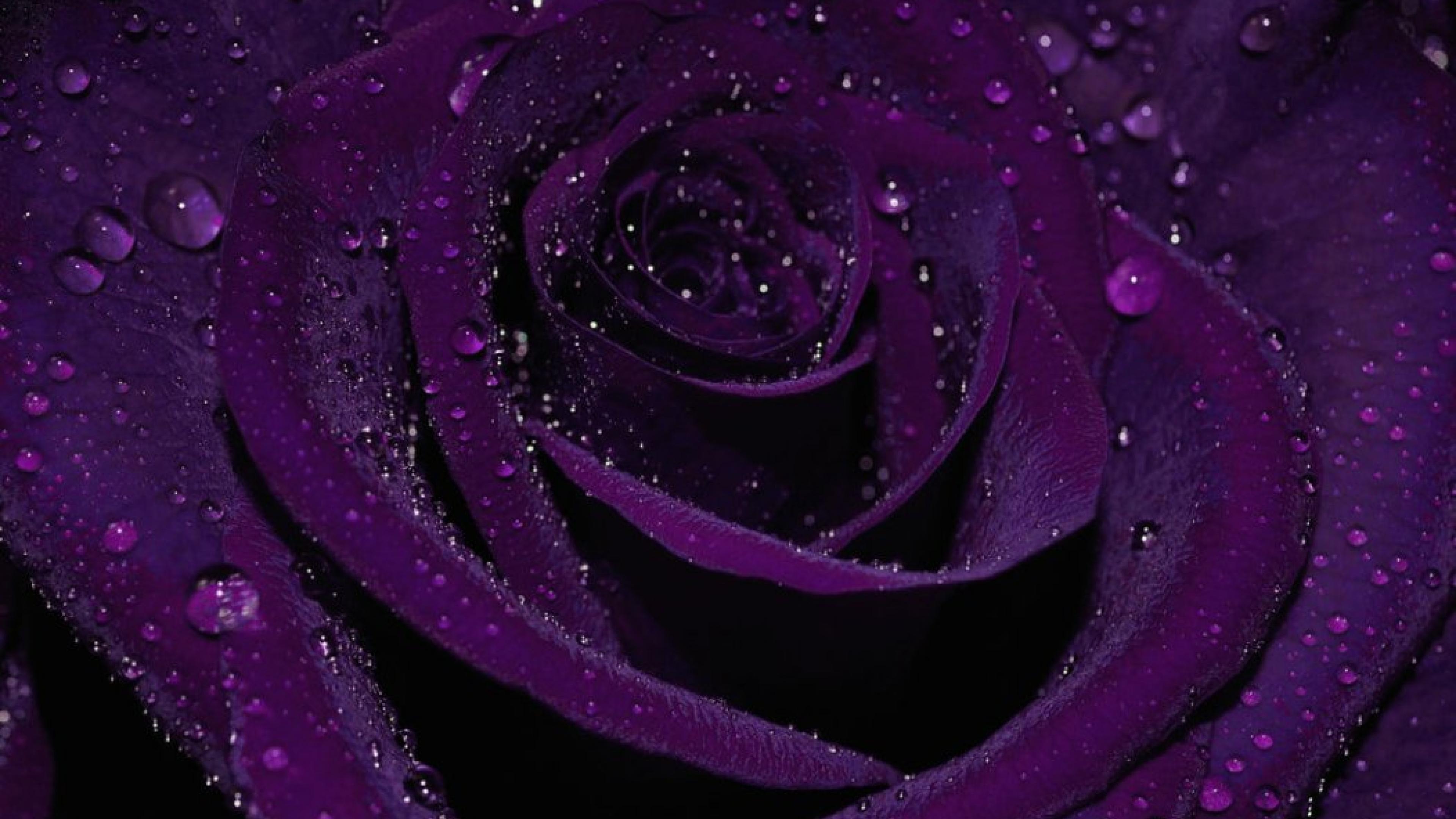 Purple Rose 4k