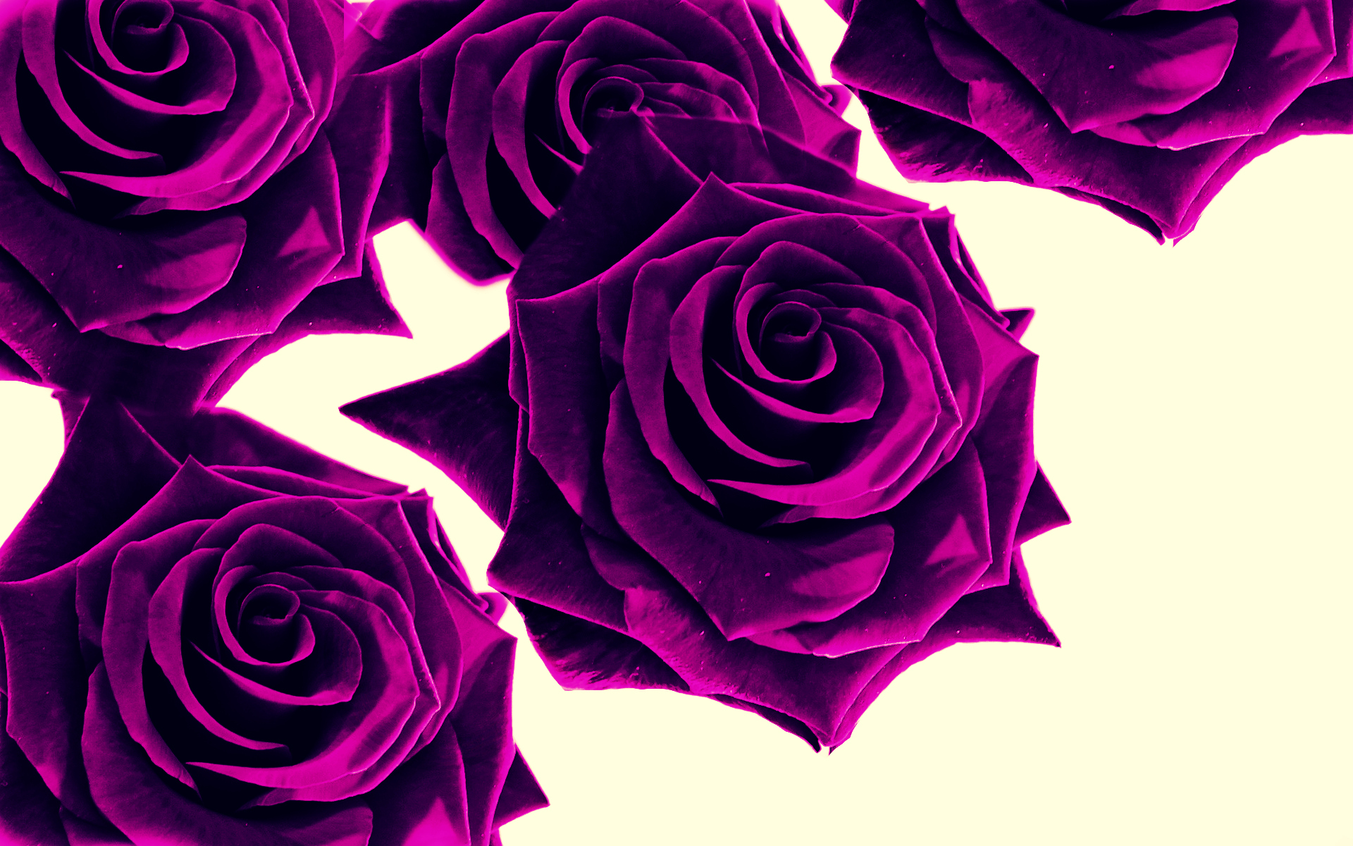 Purple Rose Desktop