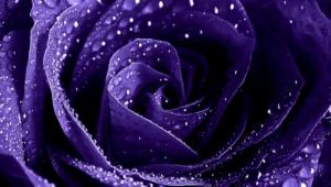 Purple Rose Hd