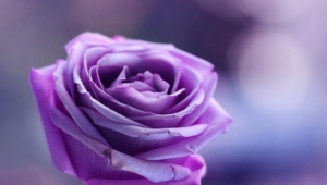 Purple Rose Hd Background