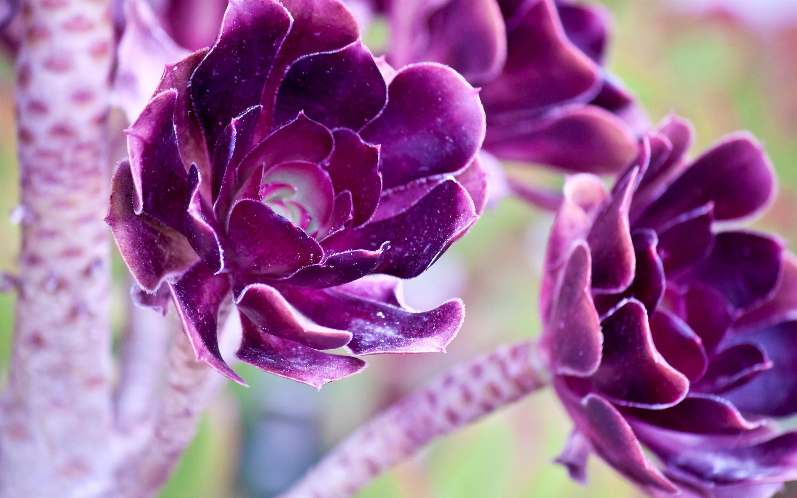 Purple Rose Hd Desktop