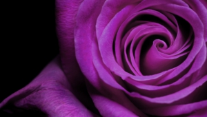 Purple Rose Hd Wallpaper