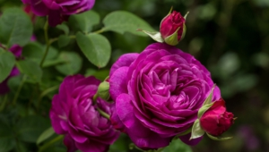 Purple Rose Pictures