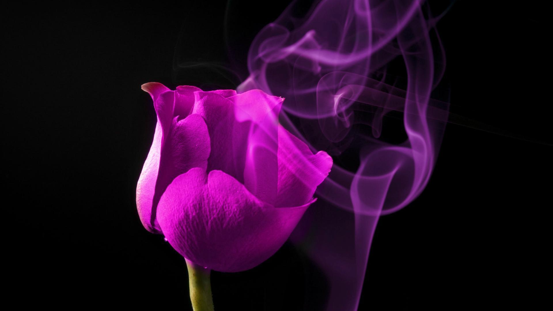 Purple Rose Wallpapers Hd