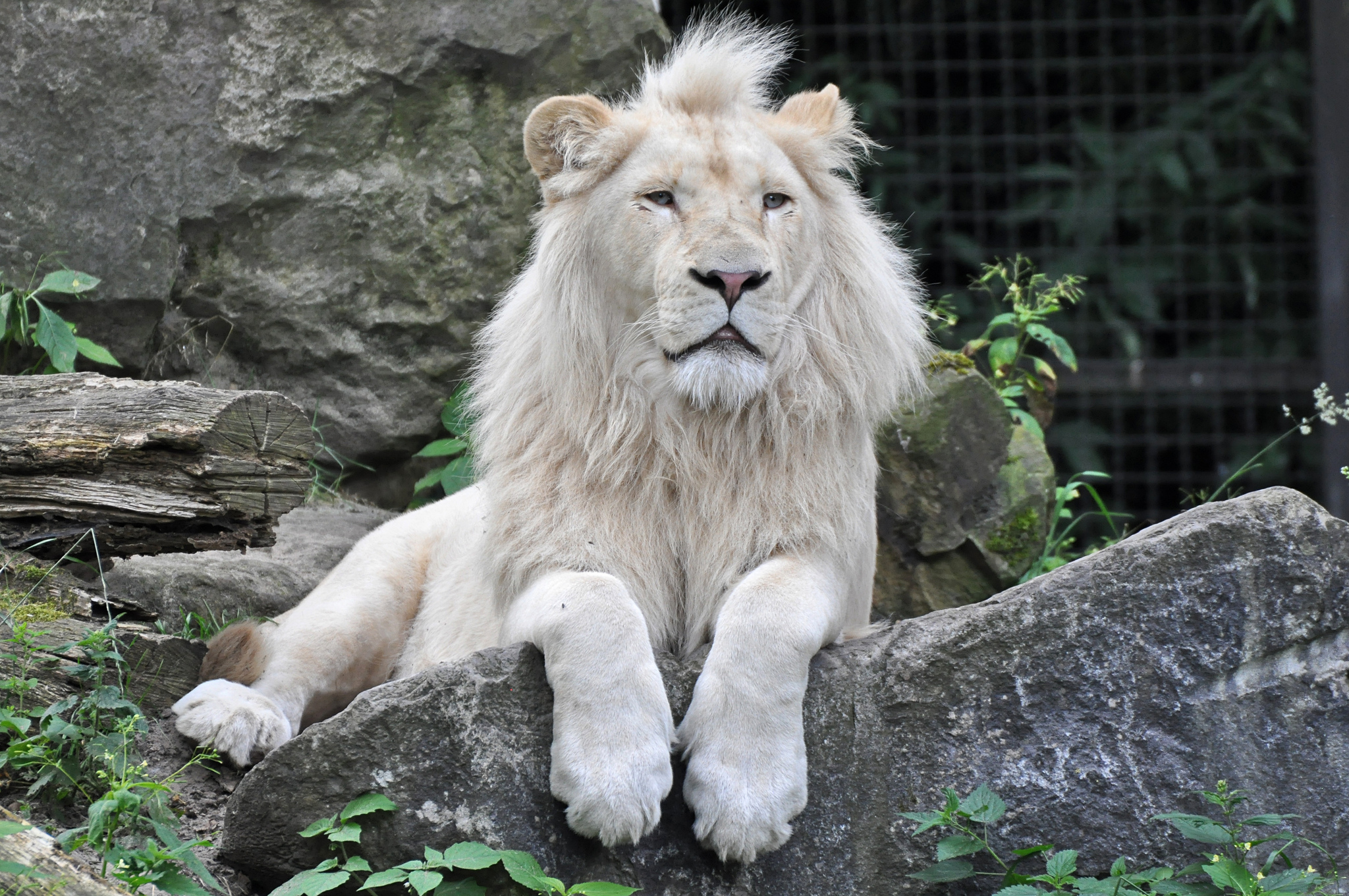 White Lion Wallpapers Images Photos Pictures Backgrounds