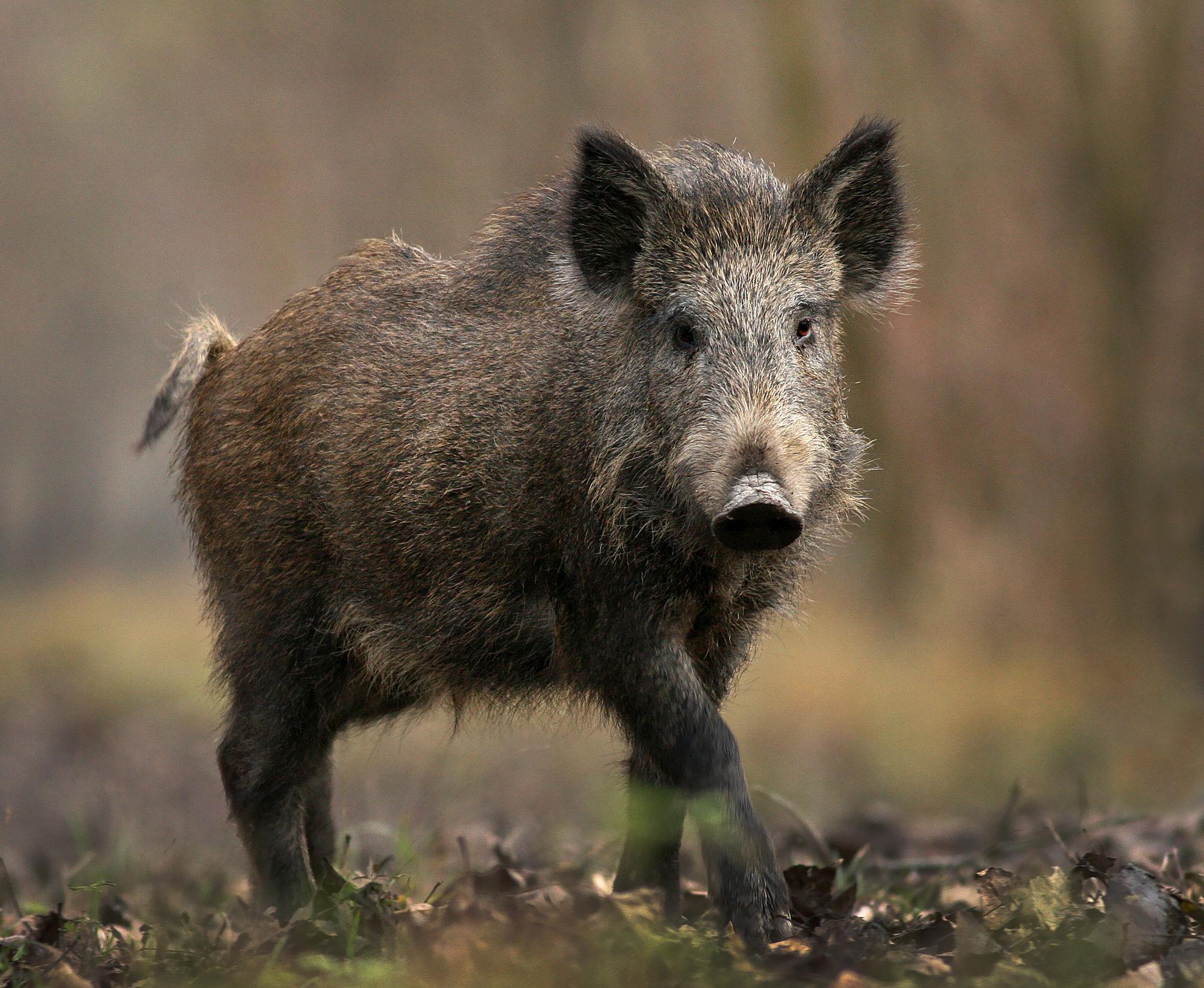 Wild Boar Background