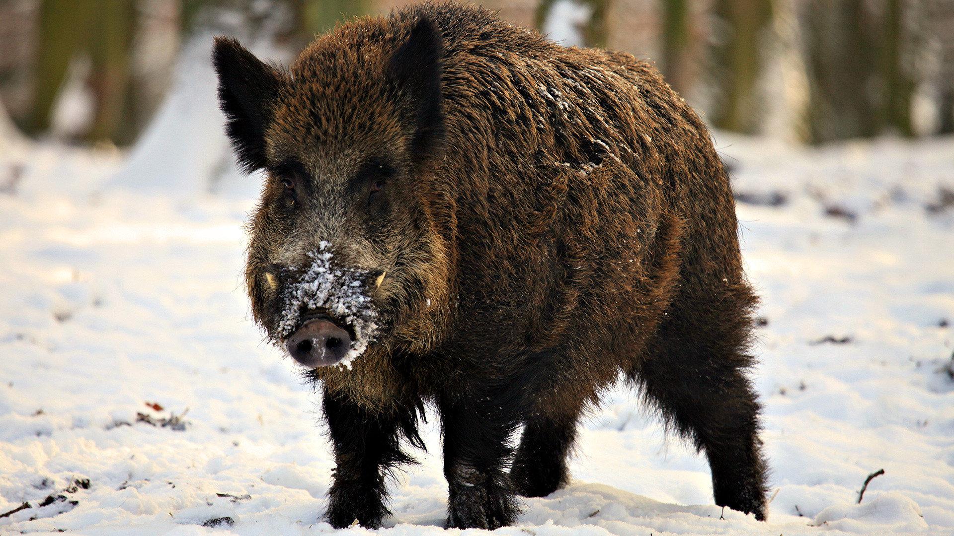 Wild Boar Hd Background
