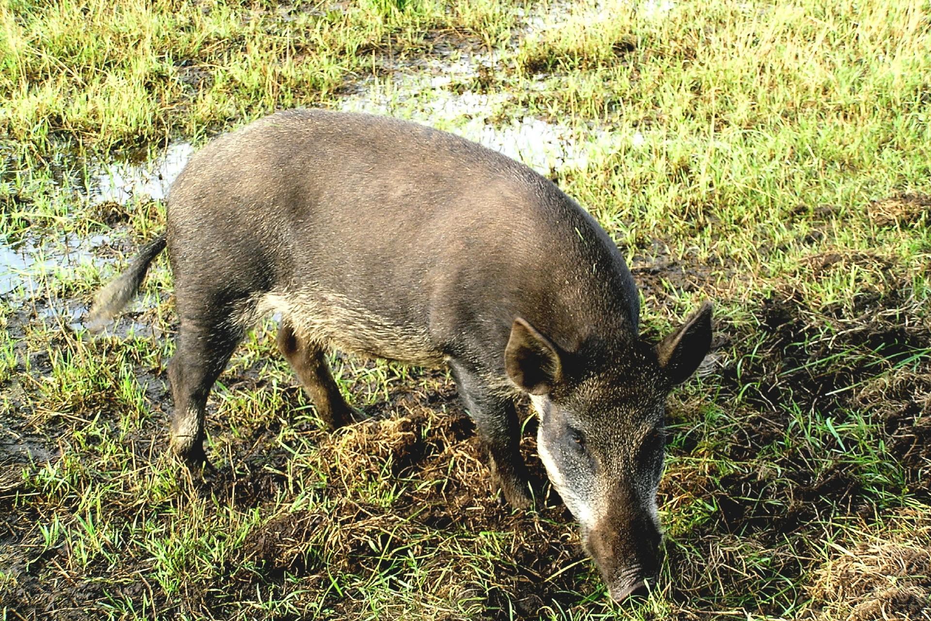 Wild Boar Hd Desktop