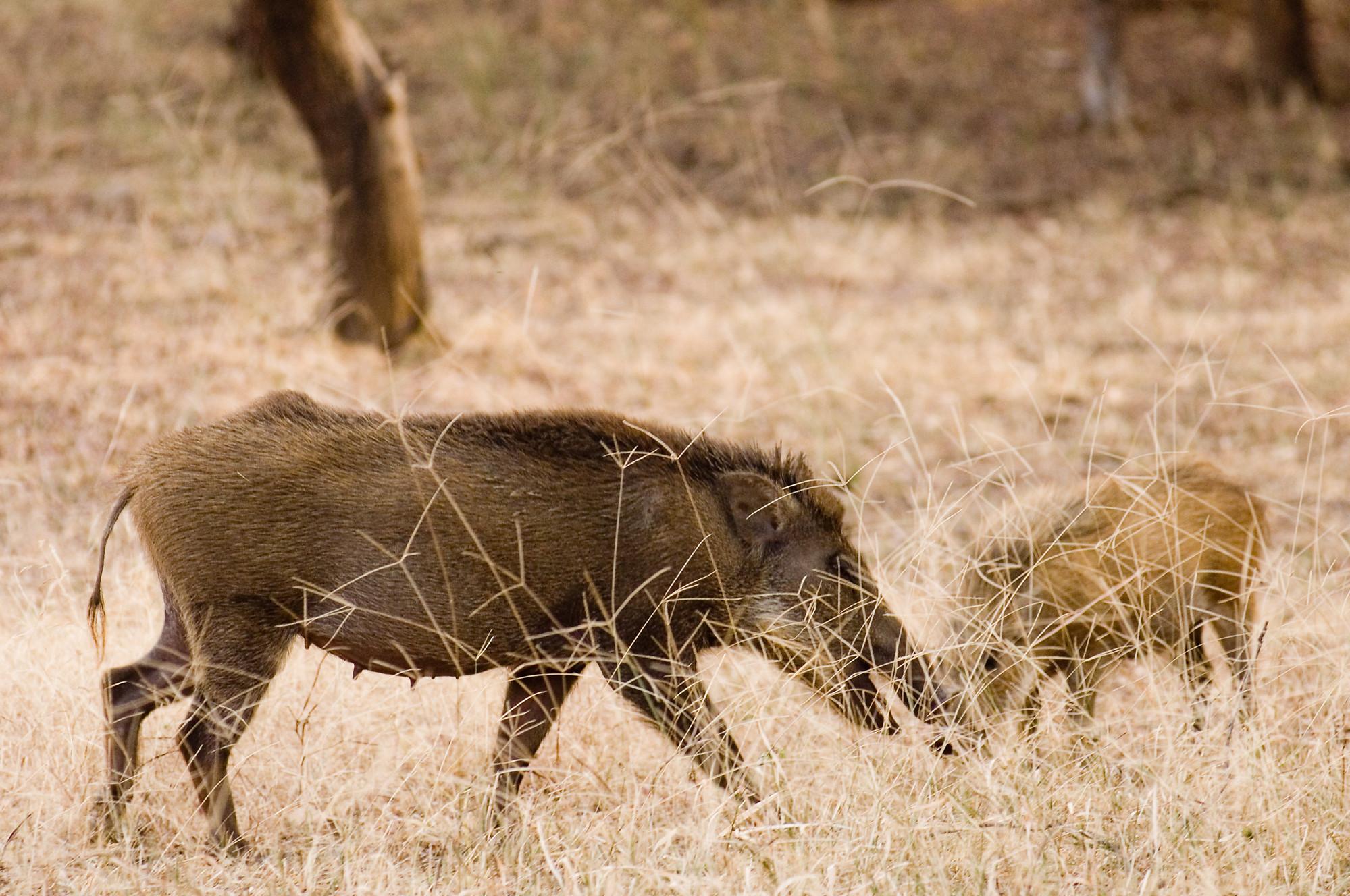 Wild Boar Hd