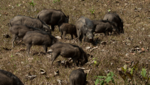Wild Boar High Definition