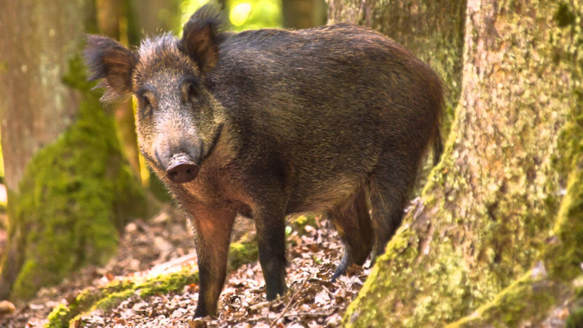 Wild Boar High Quality Wallpapers